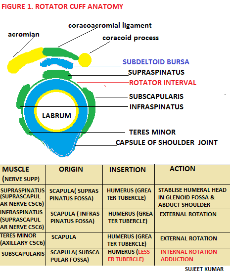 ROTATOR CUFF : ANATOMY , PATHOLOGY ,ORTHOPEDICS   MEDICOTIMES - PGMEE
