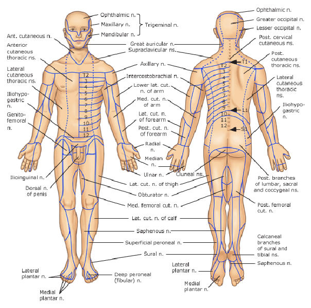 Dermatomes and corresponding Nerve supply !!